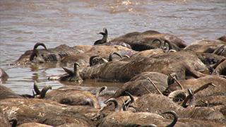 ケニア/マサイマラ国立保護区/オグロヌー(死骸)