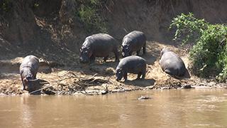 ケニア/マサイマラ国立保護区/カバ