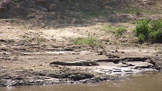 ケニア/マサイマラ国立保護区/ナイルワニ