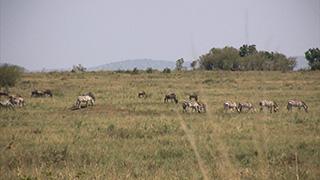 ケニア/マサイマラ国立保護区/グラントシマウマ・オグロヌー