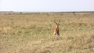 ケニア/マサイマラ国立保護区/インパラ