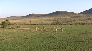 ケニア/マサイマラ国立保護区/ダチョウ