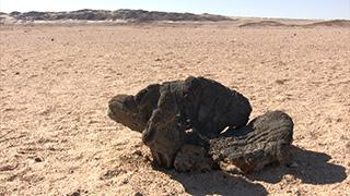 ナミビア/ナミブ砂漠/ウェルウィッチア