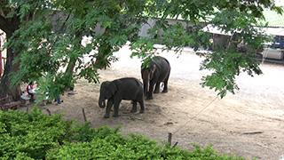 タイ/カンチャナブリ/アジアゾウ
